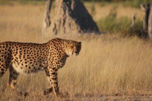 Cheetah Moremi K&D IMG-20170129-WA0028-800x533