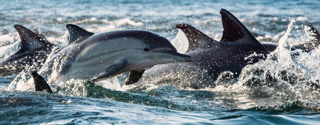 Long beaked common dolphins shutterstock_527159677