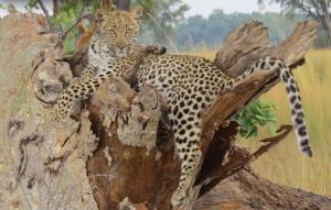 WEBshinde leopard cubs ker and downey mar 15