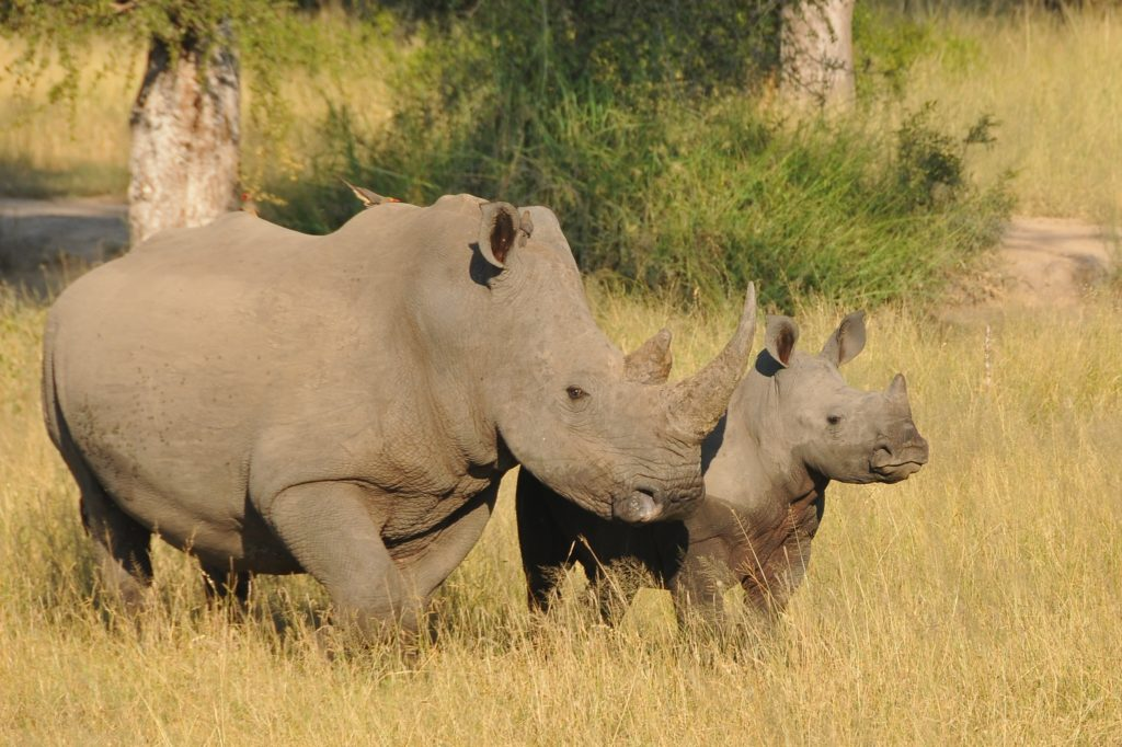 White Rhino in Greater Kruger, South Africa