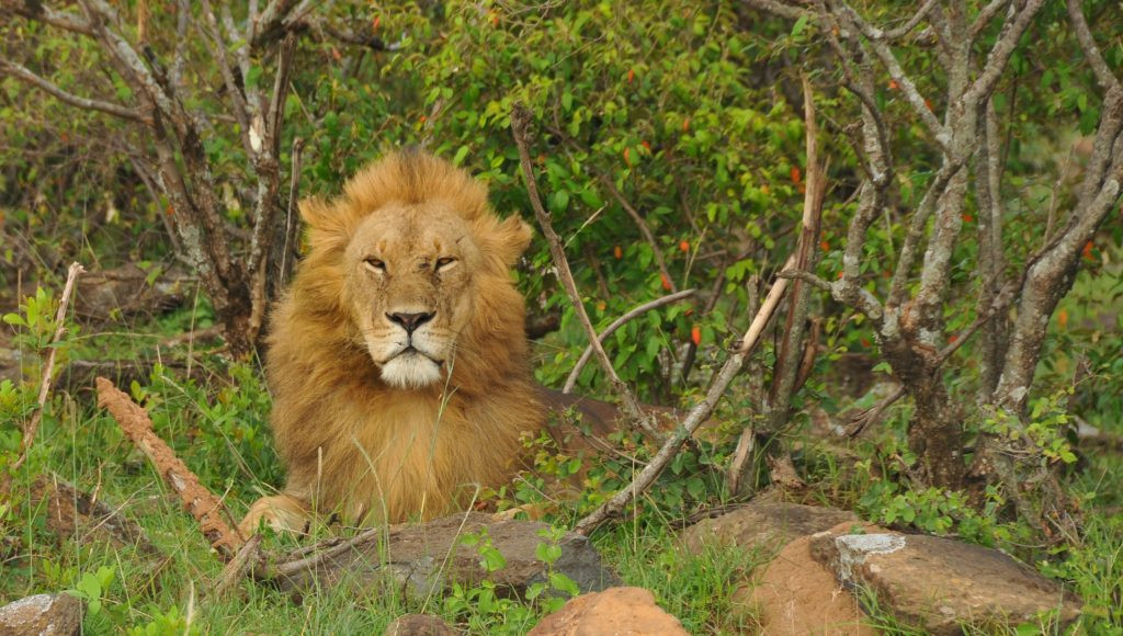 The Masai Mara is fabulous for big cats