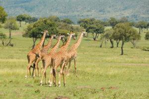 Sw Giraffe DSC_6263