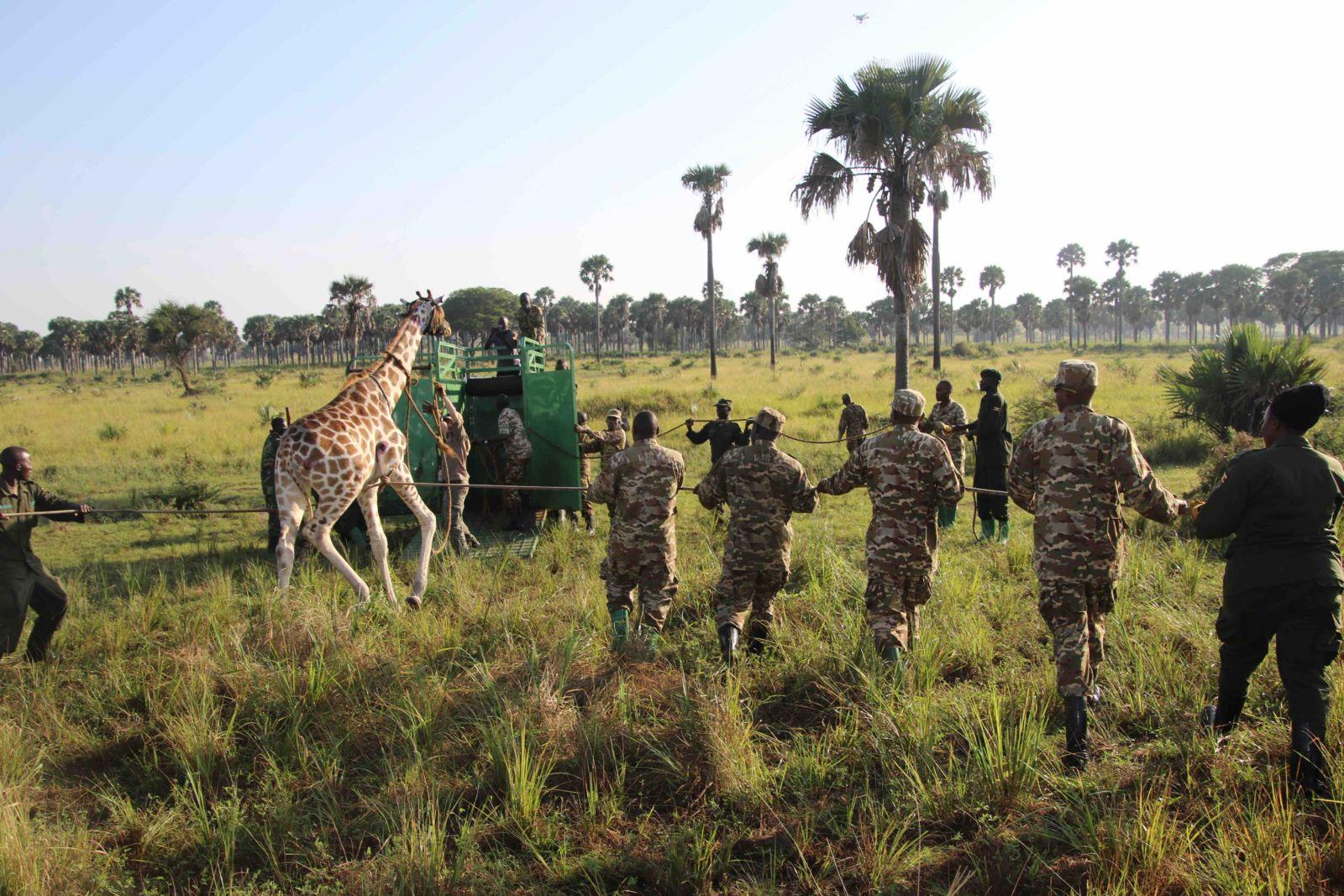 World Giraffe Day – how do you move a giraffe? Q&A with Dr Sara Ferguson from Giraffe Conservation Foundation