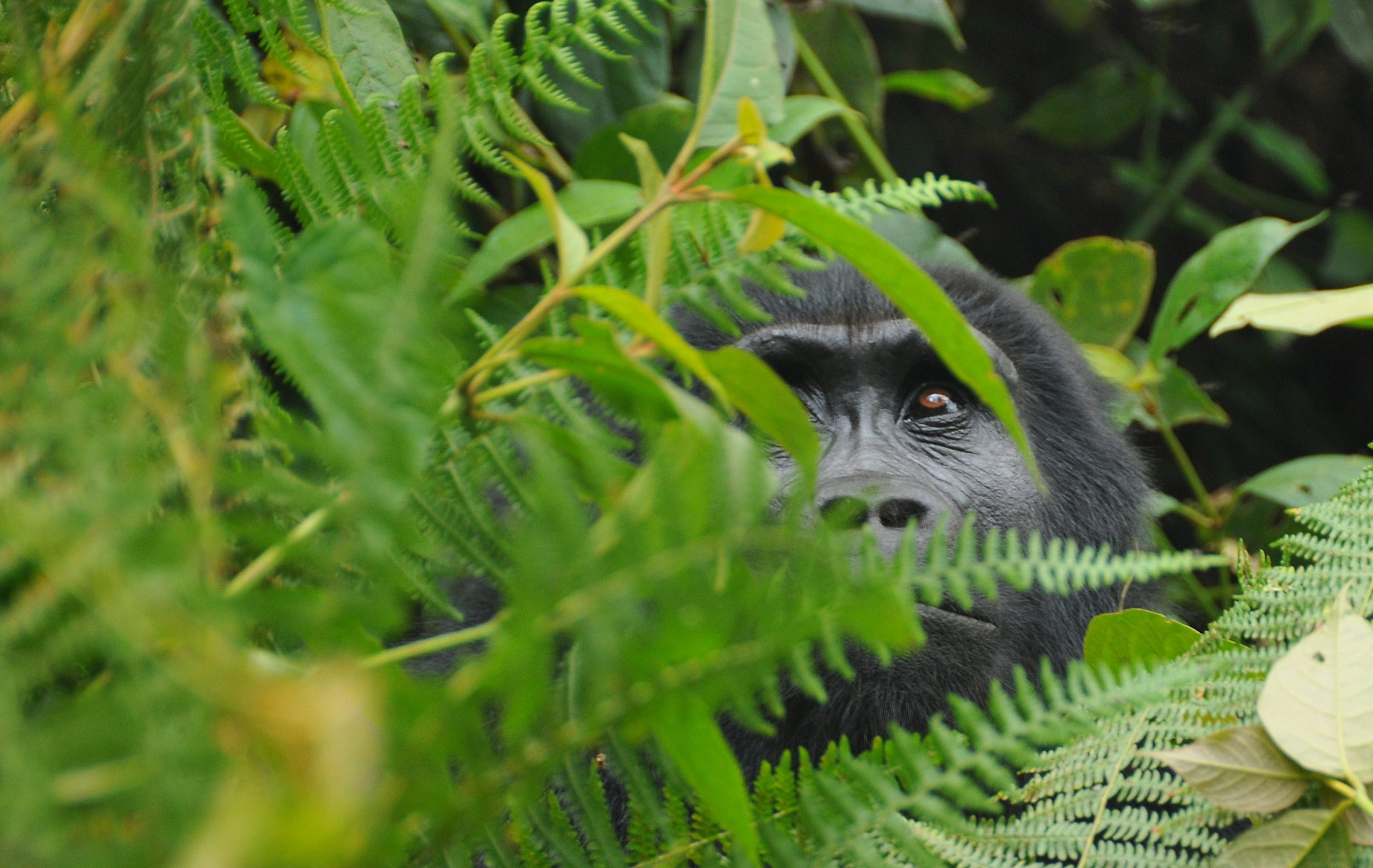 Everything you need to know about gorilla trekking